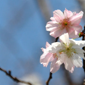 Vol.894 武蔵野公園の十月桜