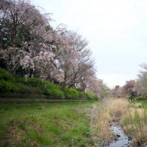 Vol.1072 野川の紅枝垂れ桜 これで最後