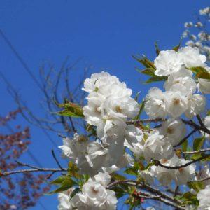 Vol.1079 武蔵野公園の桜