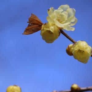 Vol.1381 ロウバイが咲き始めました!~小金井公園梅林エリア~