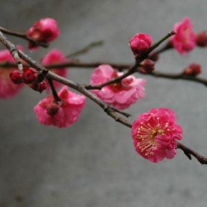Vol.1402 貫井北町五丁目 紅梅が咲いています。
