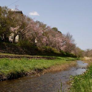 Vol.1504 野川の紅枝垂れ桜の近況【4月2日現在】