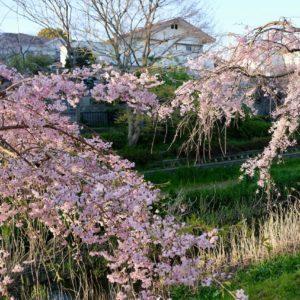 Vol.1510 野川の紅枝垂れ桜の近況【4月5日現在】