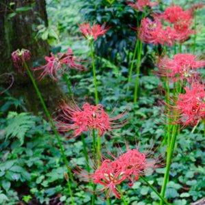 Vol.1673 今年も「ヒガンバナ」が咲き始めました!~野川公園自然観察園~