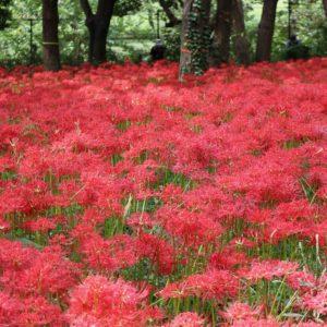 Vol.1676 まぶしいほど赤く染まったヒガンバナの群生地~野川公園自然観察園
