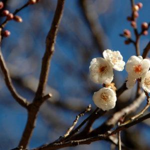 Vol.1807 2021年1月30日 梅の開花状況
