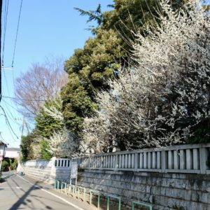 Vol.1832 小金井神社と梅の花