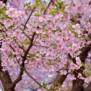 Vol.1833 ふれあい通りの河津桜が満開です