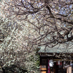 Vol. 1839 東町「天神社」の梅が見頃です