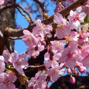 Vol.1843 街なかの花々  カワズザクラ(河津桜)とカンヒザクラ(寒緋桜)